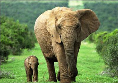 حس بویایی فیل ها