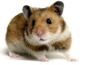 حس بویایی موش