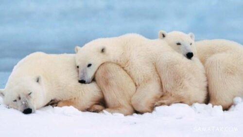 خرس ها چگونه می خوابند