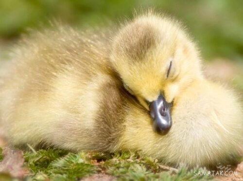 خوابیدن اردک ها چگونه است