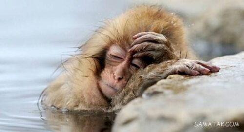 خوابیدن میمون ها