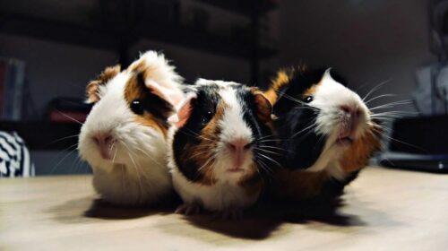خوکچههای هندی