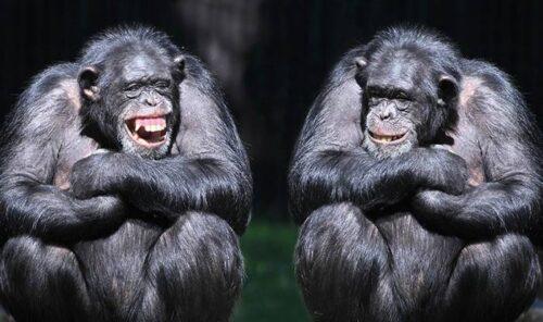 شامپانزه ها می خندند