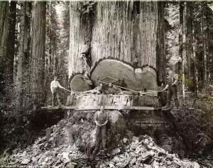 قطع درختان Redwoods در کالیفرنیا آمریکا